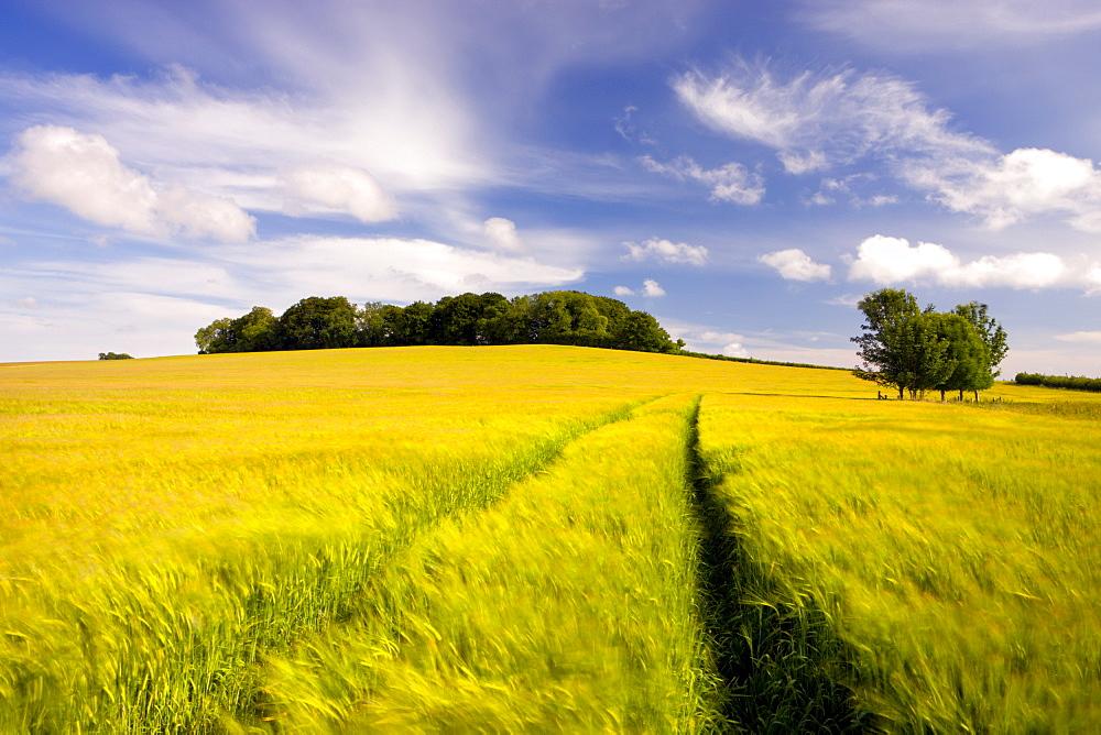 Golden barley field growing in rural Dorset countryside, Winterbourne Abbas, Dorset, England, United Kingdom, Europe