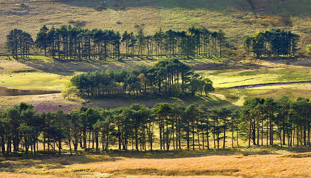 Pine trees surrounding a low Upper Neuadd Reservoir in the Brecon Beacons National Park, Powys, Wales, United Kingdom, Europe
