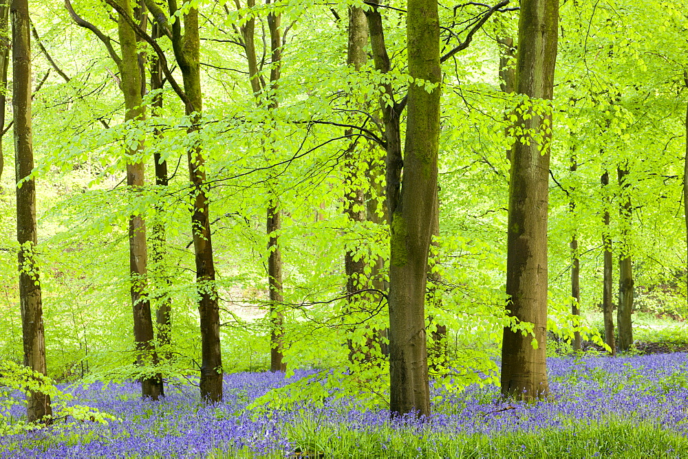 Common Bluebells (Hyacinthoides non-scripta) flowering in a beech wood, West Woods, Lockeridge, Wiltshire, England, United Kingdom, Europe