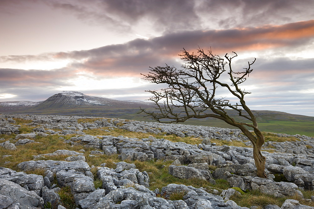 Snow capped Ingleborough and wind blown hawthorn tree on the limestone pavements on Twistleton Scar, Yorkshire Dales National Park, North Yorkshire, England, United Kingdom, Europe