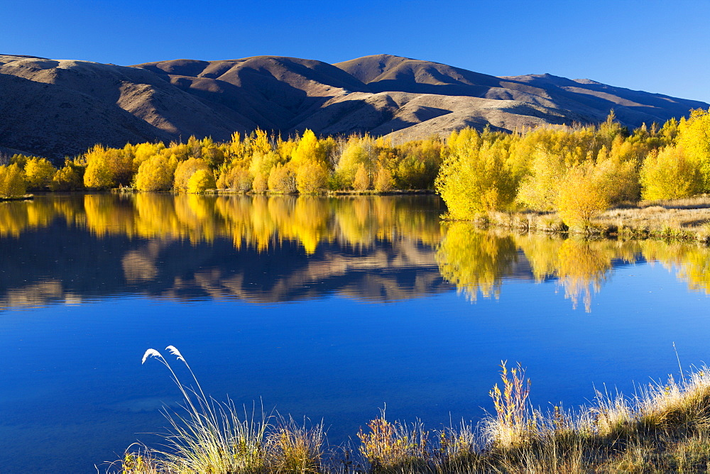 Vibrant golden autumn colours reflected in a lake near Twizel, Canterbury, South Island, New Zealand, Pacific - 799-855