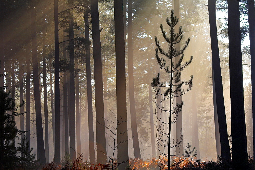 Pine sapling in a misty pine forest, New Forest, Hampshire, England, United Kingdom, Europe