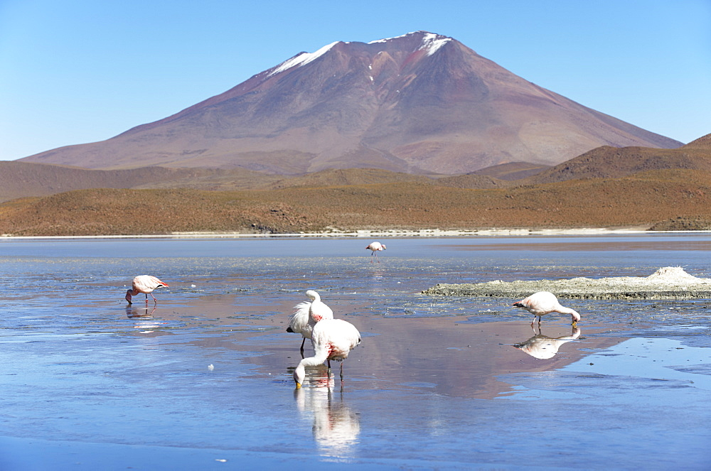 Flamingoes at Laguna Adeyonda on Altiplano, Potosi Department, Bolivia, South America