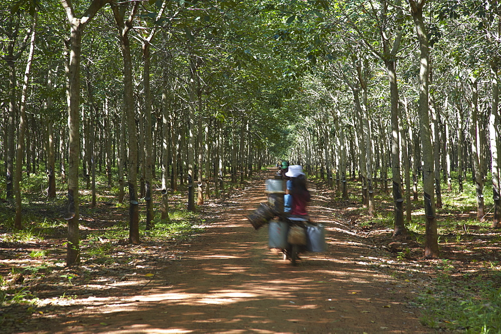 Rubber workers driving through rubber plantation, Kampong Cham, Cambodia, Indochina, Southeast Asia, Asia