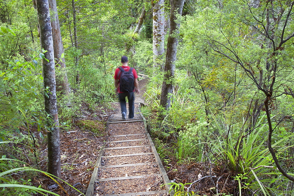 Man hiking on Waiomu Kauri Grove trail, Thames, Coromandel Peninsula, Waikato, North Island, New Zealand, Pacific