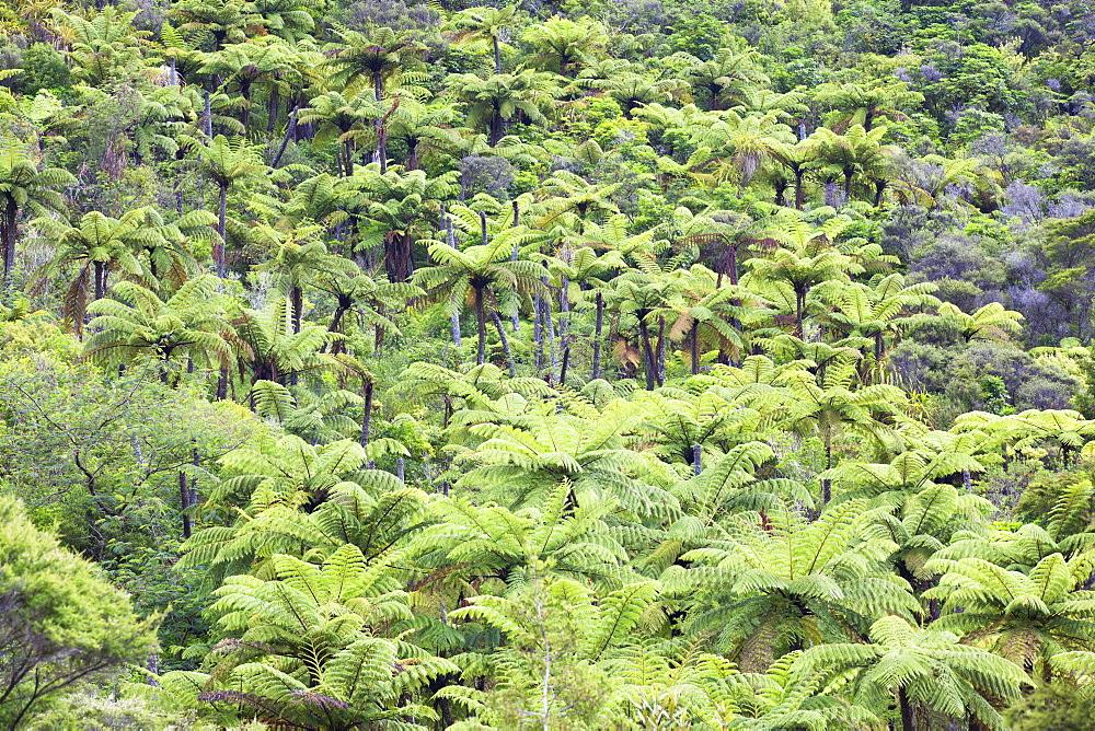 Strand of tree ferns on Waiomu Kauri Grove trail, Thames, Coromandel Peninsula, Waikato, North Island, New Zealand, Pacific