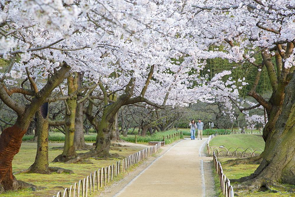 People walking under cherry trees in blossom in Koraku-en Garden, Okayama, Okayama Prefecture, Japan, Asia