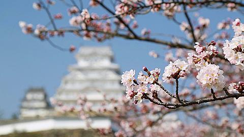 Himeji Castle and cherry blossom, Himeji, Honshu, Japan
