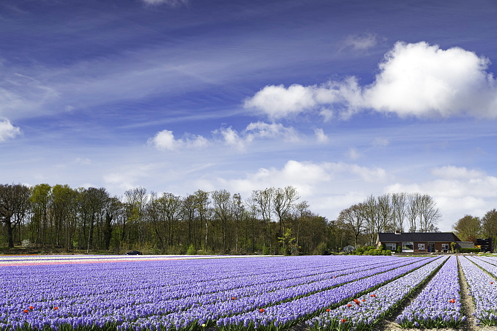 Hyacinths in fields, Lisse, Netherlands, Europe