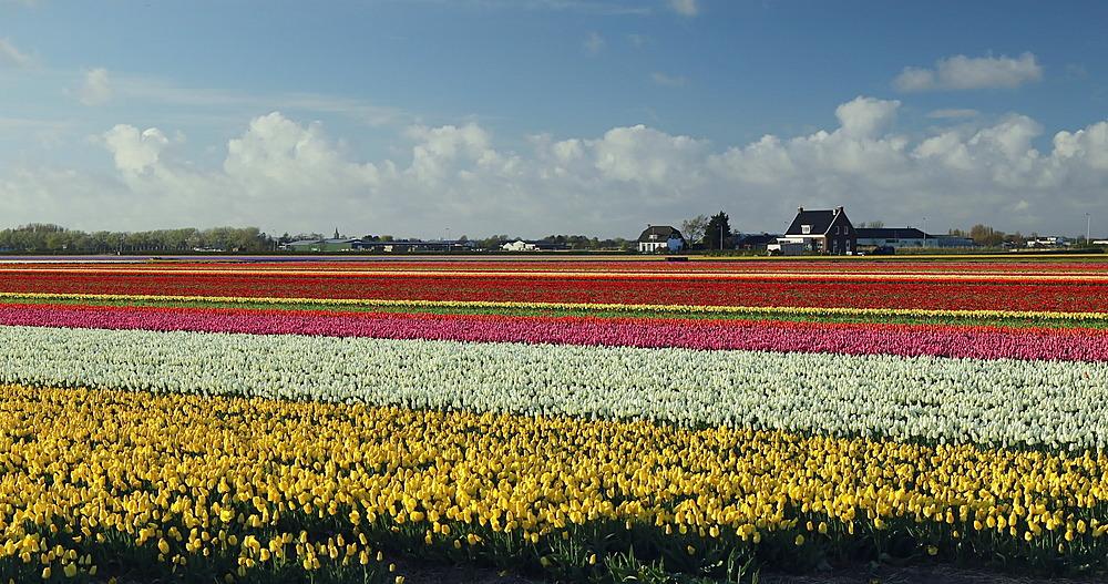 Fields of tulips, Lisse, Netherlands - 800-3146