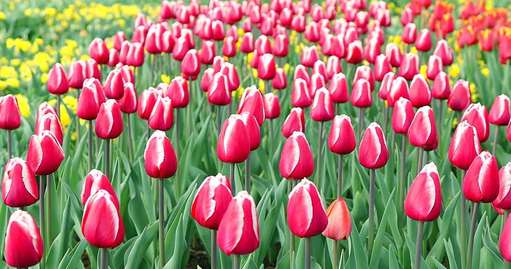 Tulips at Keukenhof Gardens, Lisse, Netherlands - 800-3147