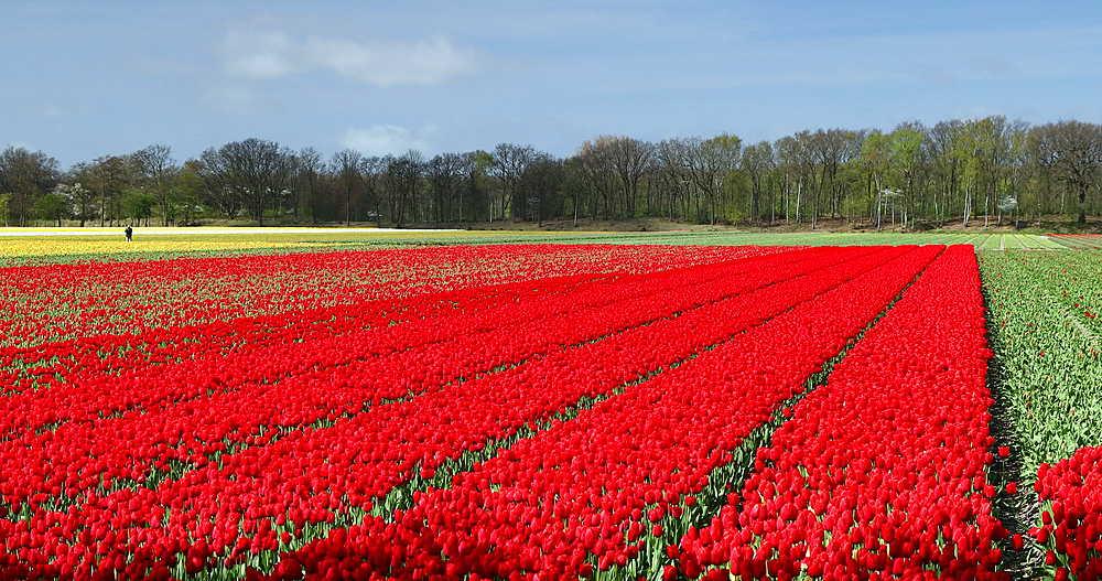 Fields of tulips, Lisse, Netherlands - 800-3157