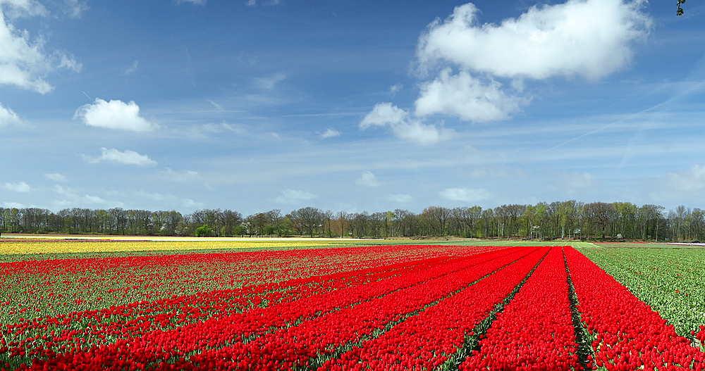 Fields of tulips, Lisse, Netherlands - 800-3159