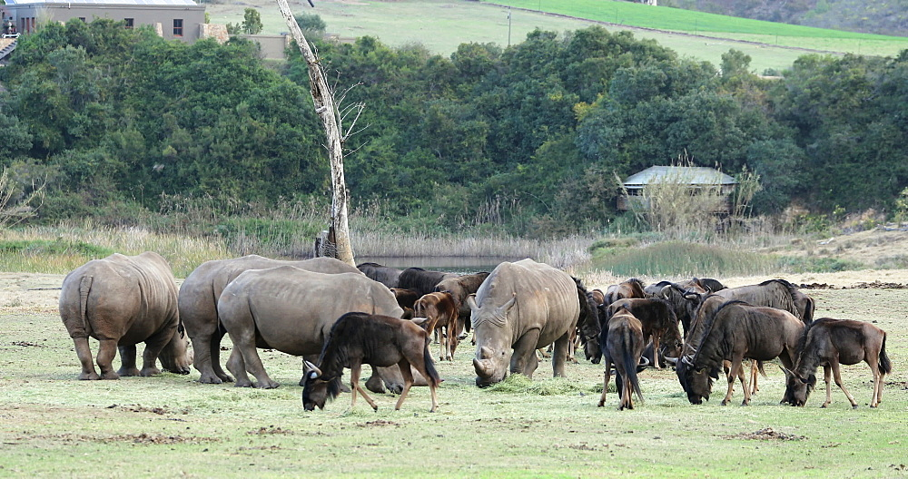 Rhinoceros and wildebeest, Botlierskop Private Game Reserve, Western Cape, South Africa, Africa - 800-3318