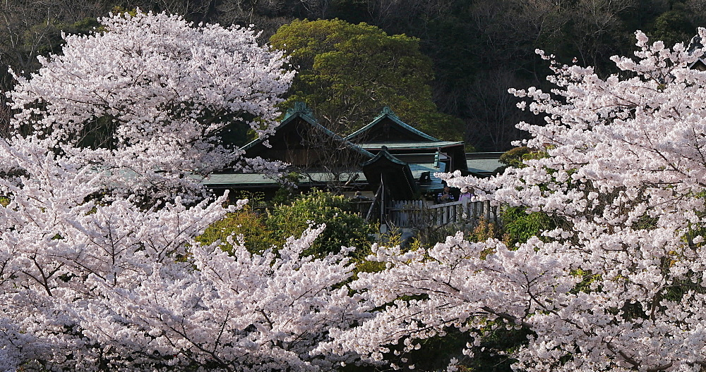 Cherry blossom at Kitano Tenman shrine, Kobe, Kansai, Japan, Asia - 800-3537