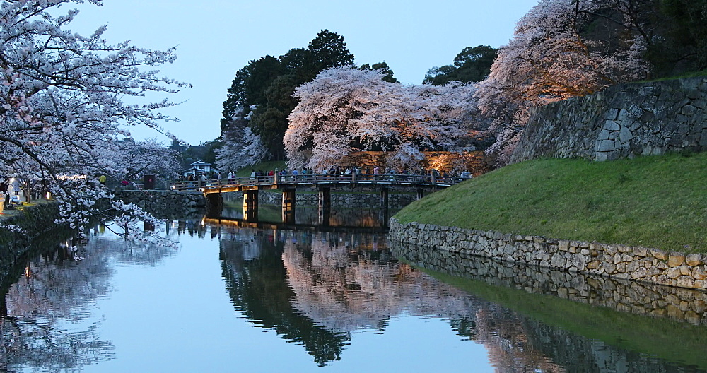 Cherry blossom and bridge over moat of Hikone Castle, Hikone, Kansai, Japan, Asia - 800-3538