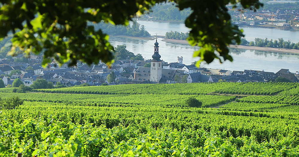 View of vineyards and River Rhine, Rudesheim, Rhineland-Palatinate, Germany - 800-3613