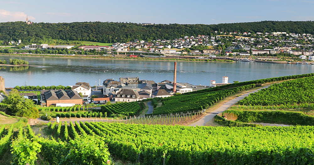 View of vineyards and River Rhine, Rudesheim, Rhineland-Palatinate, Germany - 800-3615