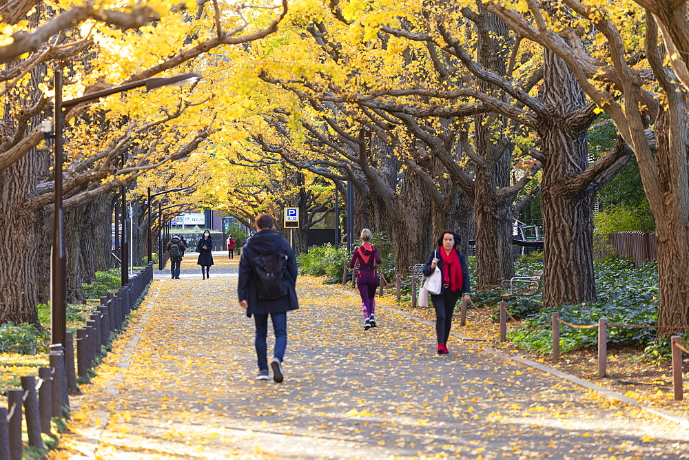 Autumnal ginkgo trees in Meiji Jingu Gaien, Tokyo, Honshu, Japan, Asia
