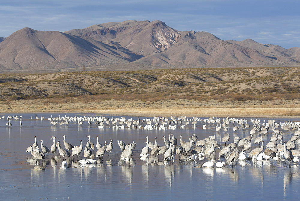 Greater sandhill cranes (Grus canadensis tabida) gray in color, and lesser snow geese (Chen caerulescens caerulescens) white in color, Bosque del Apache National Wildlife Refuge, New Mexico, United States of America, North America