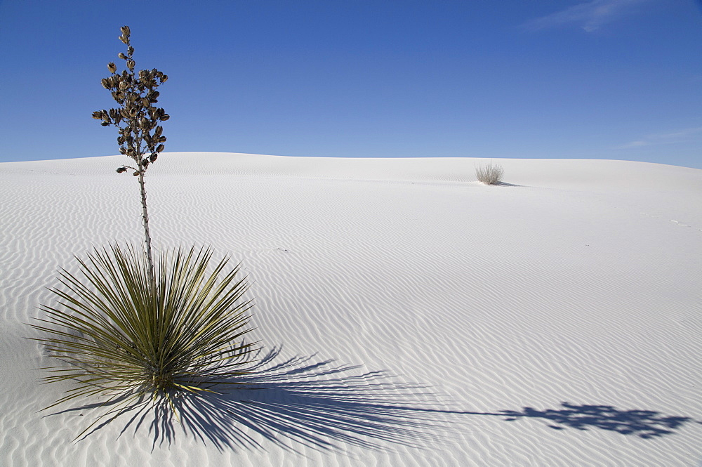 Yucca elata plant at the White Sands National Monument, the world's largest gypsum dunefield, New Mexico, United States of America, North America