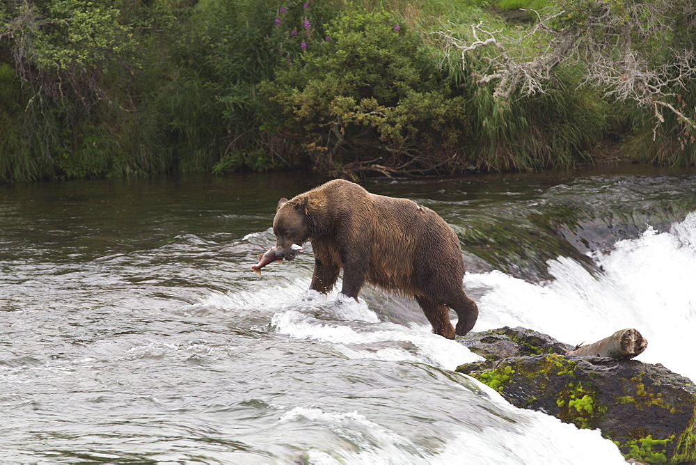 Grizzly bear (Ursus Arctos), Brooks Falls, Katmai National Park, Alaska, United States of America, North America