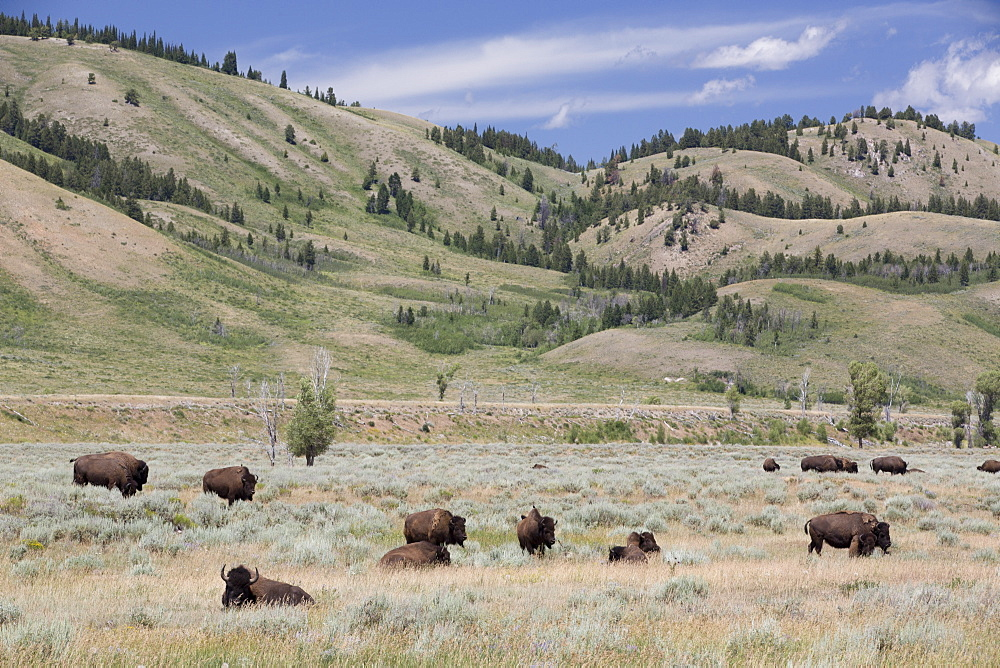 American Bison (Bison bison), Grand Teton National Park, Wyoming, United States of America, North America