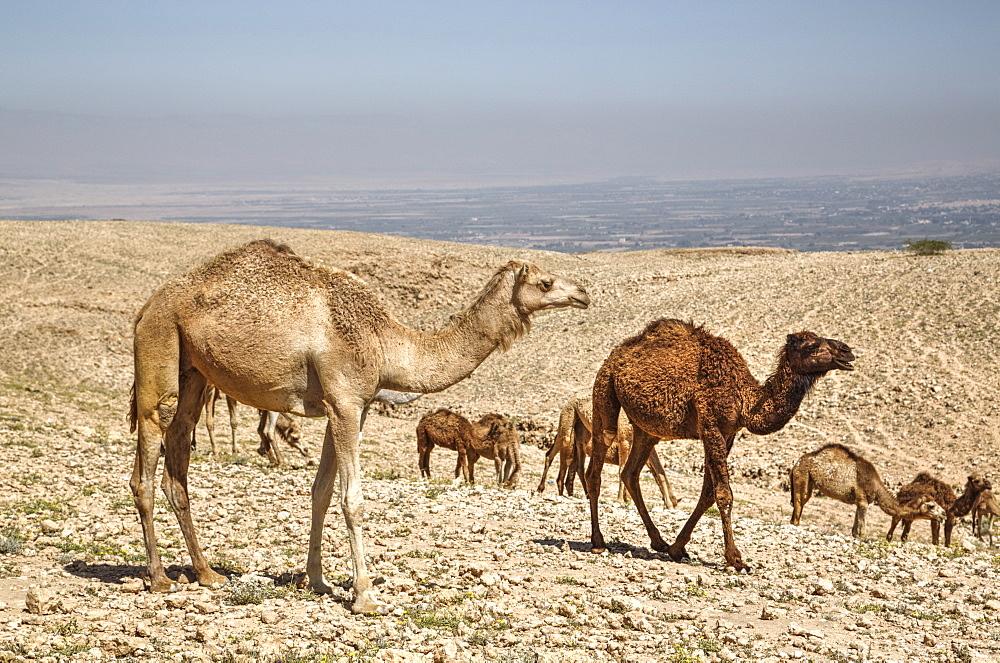 Camels near the Dead Sea, Jordan, Middle East