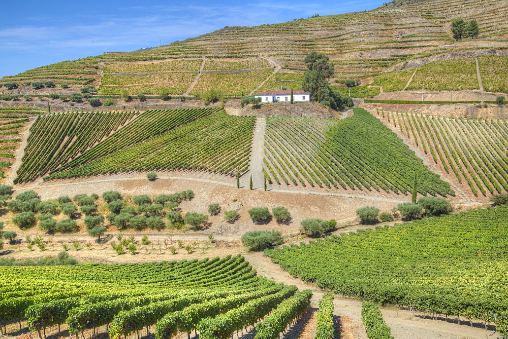Vineyards, Quinta do Crasto, Alto Douro Wine Valley, UNESCO World Heritage Site, Portugal, Europe - 801-1979