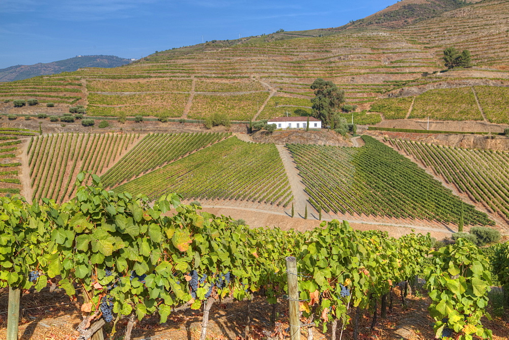 Vineyards, Quinta do Crasto, Alto Douro Wine Valley, UNESCO World Heritage Site, Portugal, Europe