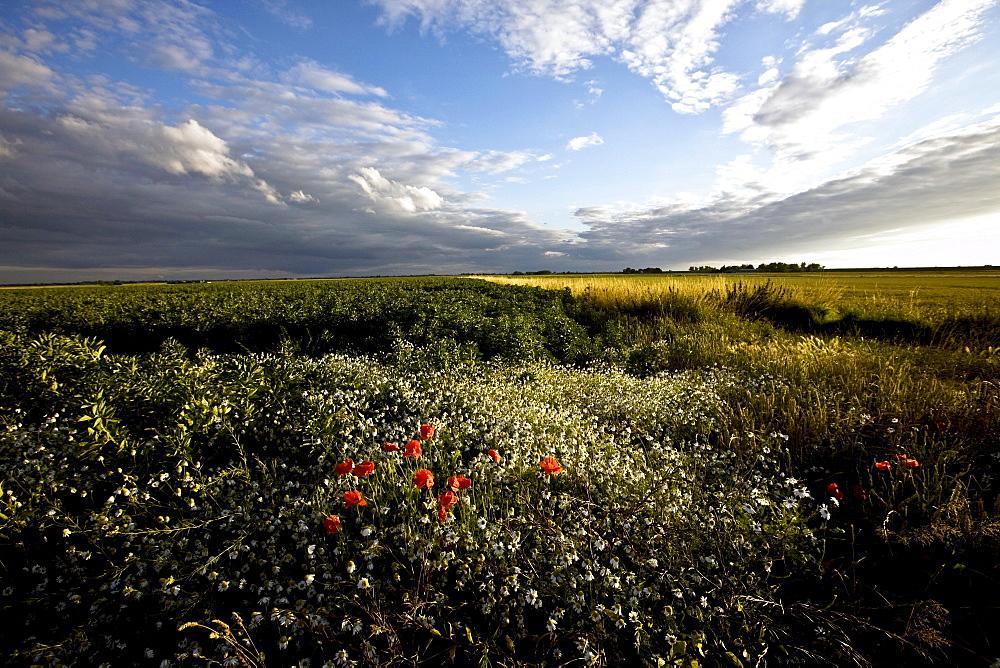 Wild poppies in an open field in Norfolk, England, United Kingdom, Europe