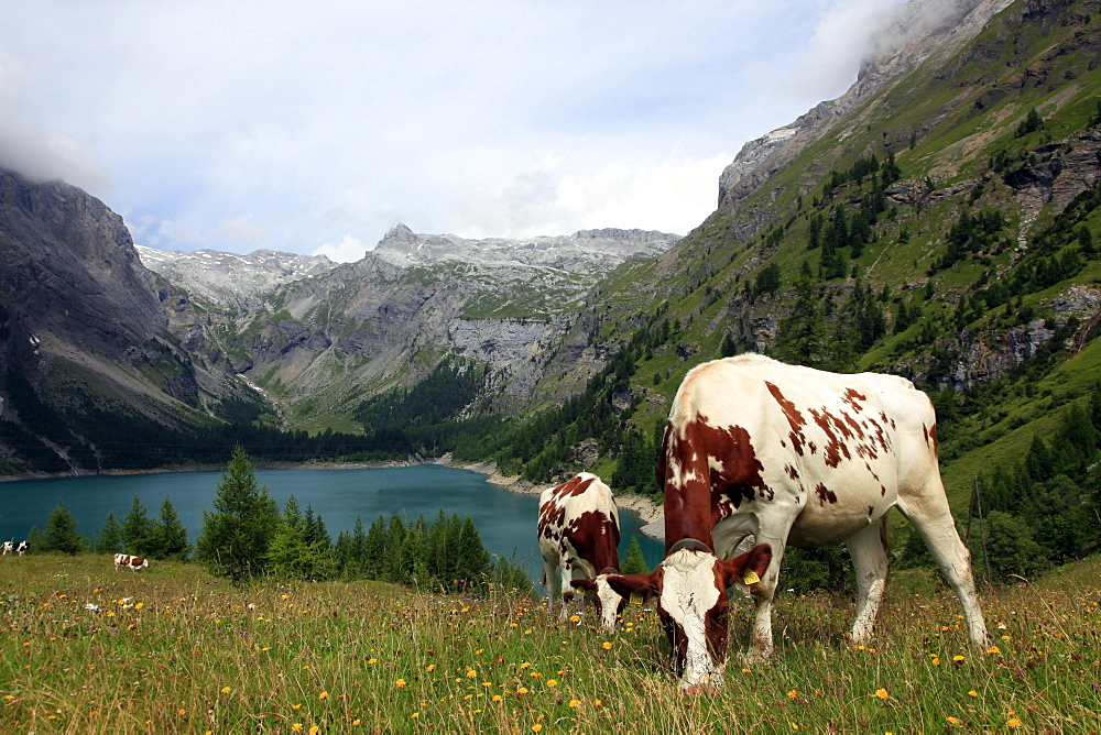 Cows grazing in the meadow above Rawyl reservoir, Valais region, Swiss Alps, western Switzerland, Europe