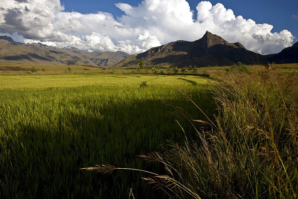 Rice fields in the evening sun underneath the Tsaranoro Massif, Andringitra National Park, Southern Madagascar, Africa