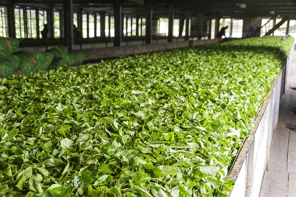 Freshly picked tea being prepared for drying in a tea plantation in Kandy, Sri Lanka, Asia