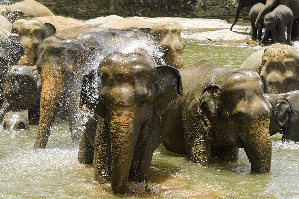 Elephants bathing in the river at the Pinnewala Elephant Orphanage, Sri Lanka, Asia