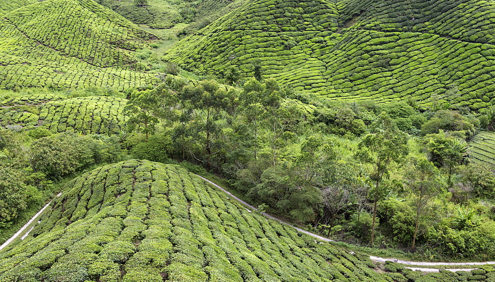 Panoramic view of the tea plantations in the Cameron Highlands, Malaysia, Southeast Asia, Asia