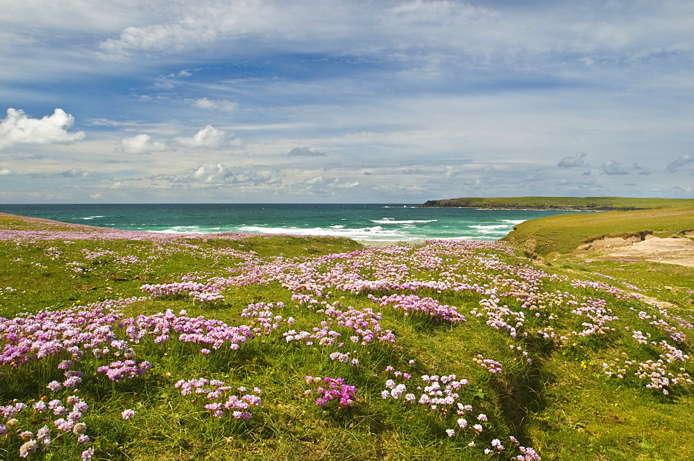 Wild flowers and coastline, Isle of Lewis, Outer Hebrides, Sotland, United Kingdom, Europe