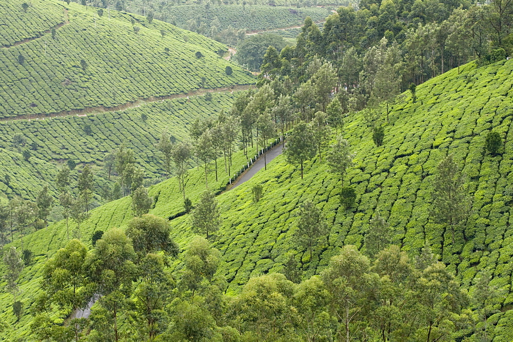 Tea gardens in Devikulam, Kerala, India, Asia - 804-281