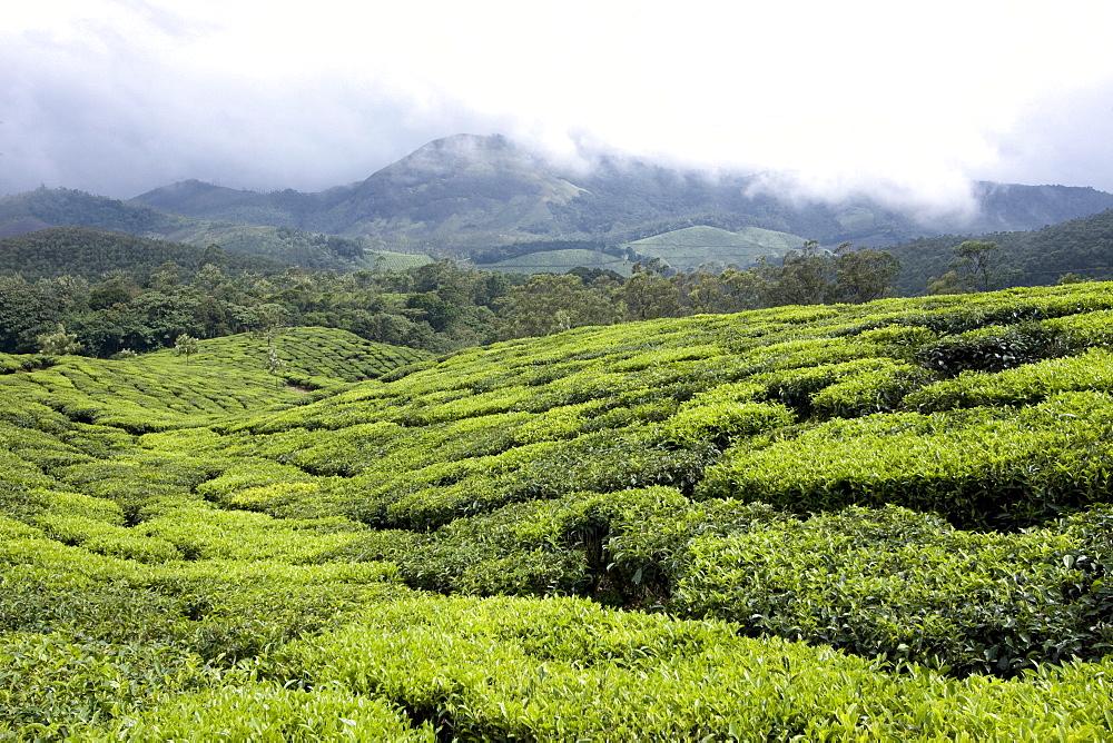 Tea gardens, Munnar, Kerala, India, Asia - 804-360