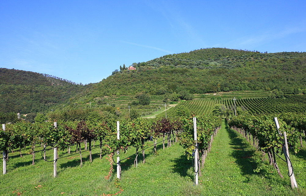 Vineyard, Vincenza, Veneto, Italy, Europe - 806-273