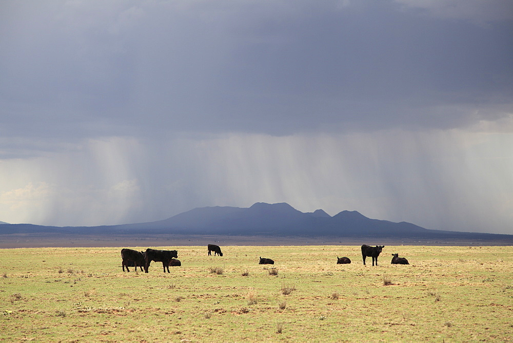 Cattle on ranch, thunder storm clouds, Santa Fe County, New Mexico, United States of America, North America