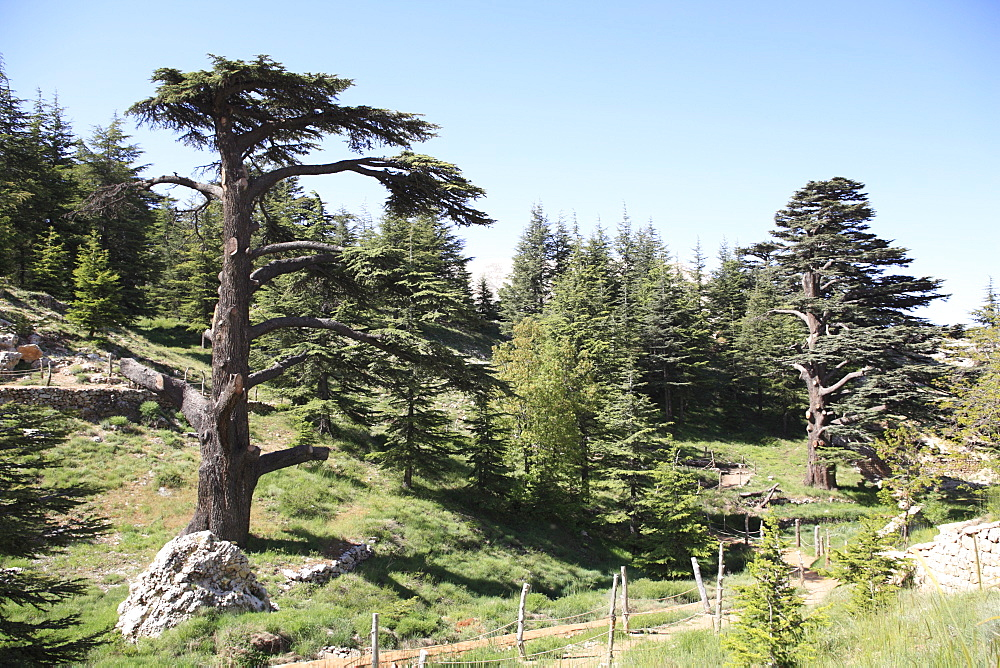 The Cedar Trees of Bcharre, Qadisha Valley, UNESCO World Heritage Site, Lebanon, Middle East