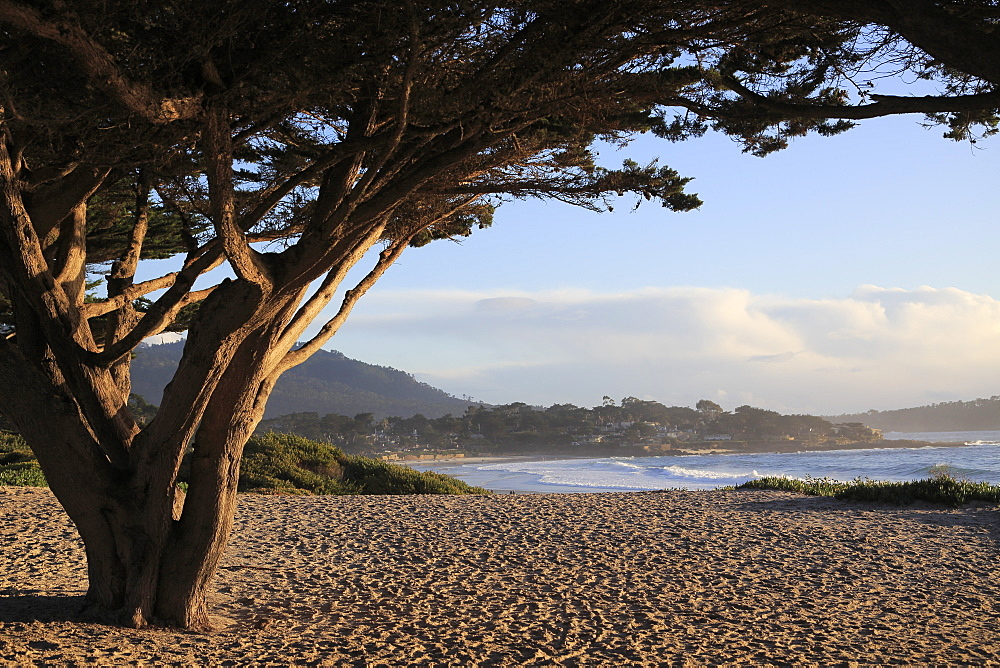Beach, Carmel by the Sea, Monterey Cypress (Cupressus Macrocarpa) tree, Monterey Peninsula, Pacific Ocean, California, United States of America, North America