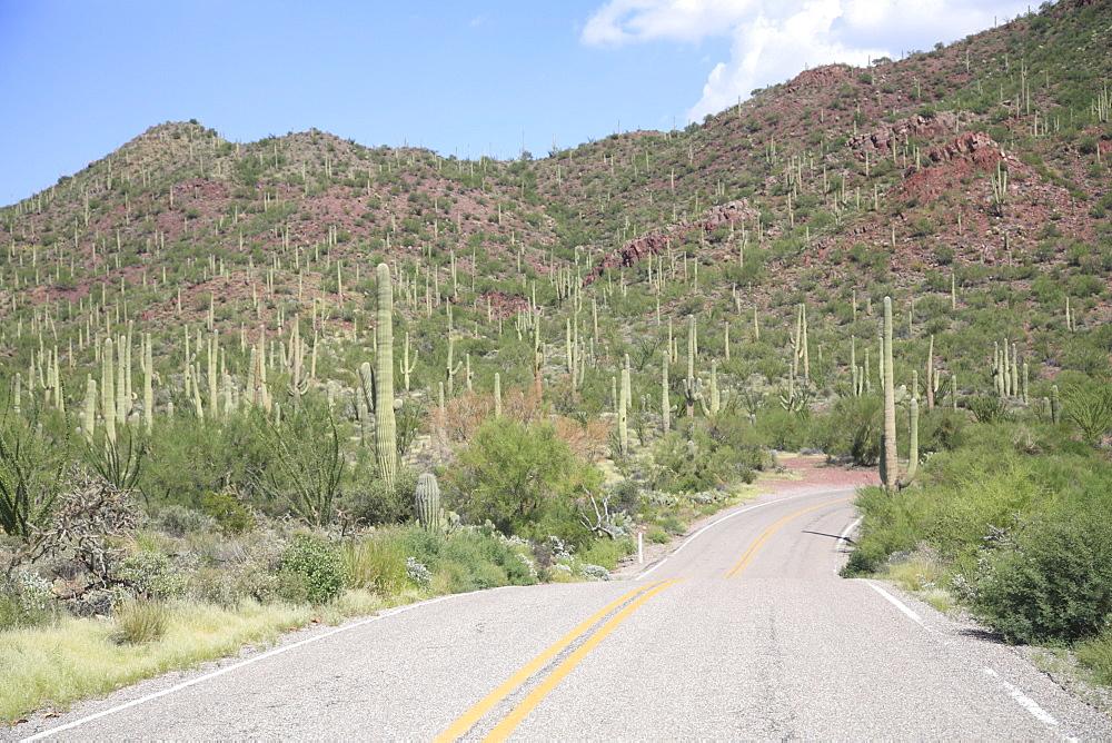Saguaro cacti, Saguaro National Park, Tuscon Mountain District west unit, Tucson, Arizona, United States of America, North America