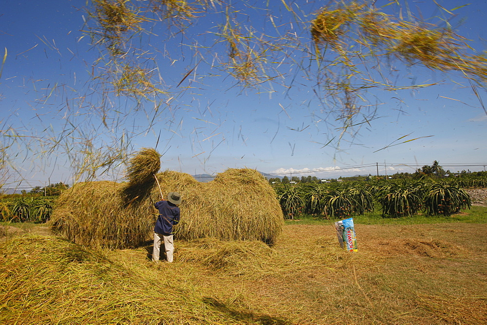 Rice threshing, Mui Ne, Bin Thuan, Vietnam, Indochina, Southeast Asia, Asia
