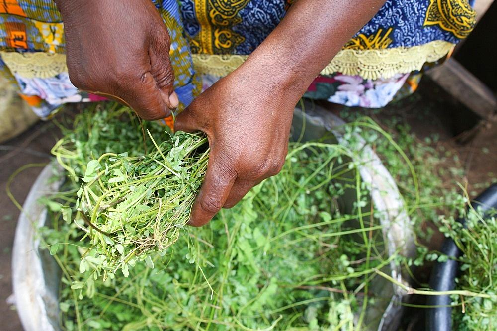 Herbal medicine, Lome, Togo, West Africa, Africa