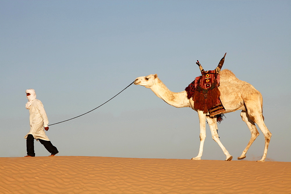 Camel driver in the Sahara desert, near Douz, Kebili, Tunisia, North Africa, Africa