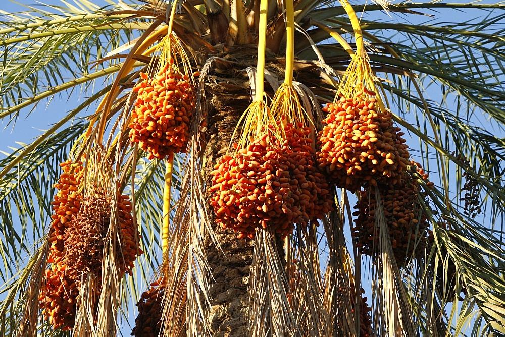Date palms, Douz, Kebili, Tunisia, North Africa, Africa