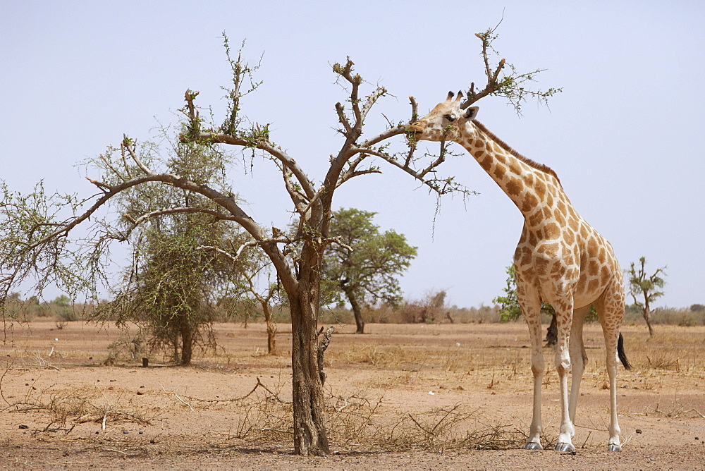 Giraffe in the park of Koure, 60 km east of Niamey, one of the last giraffes in West Africa after the drought of the seventies, they remain under the threat of deforestation, Niger, West Africa, Africa  - 809-5046