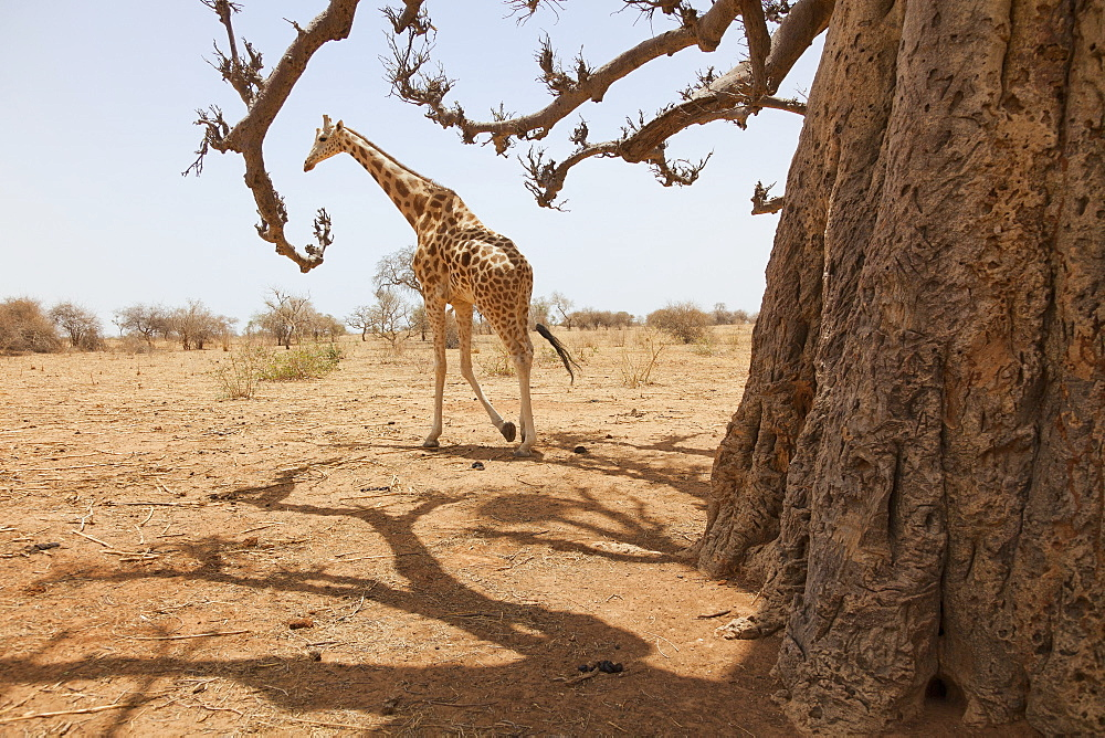 Giraffe in the park of Koure, 60 km east of Niamey, one of the last giraffes in West Africa after the drought of the seventies, they remain under the threat of deforestation, Niger, West Africa, Africa